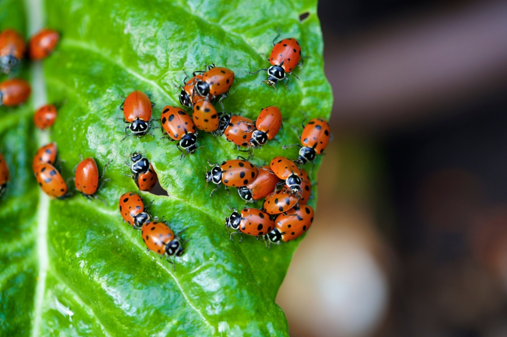 Where have the nine-spotted ladybugs gone? Scientists ask for your
