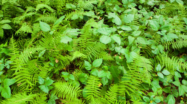 Poison Ivy Oak And Sumac How To Identify These Plants Treat