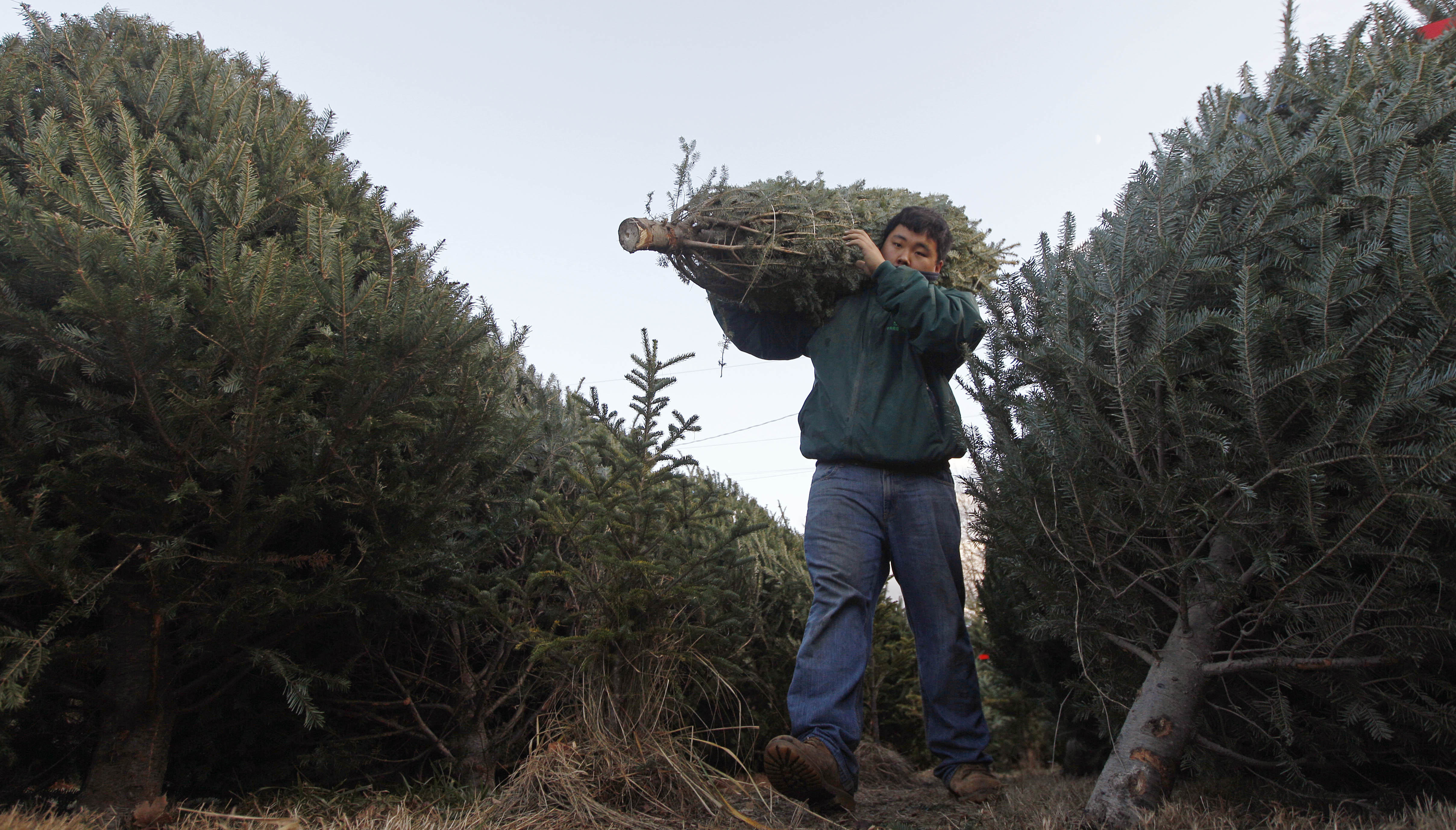 Christmas Tree Farm Photos.How Extreme Weather May Influence Your Christmas Tree