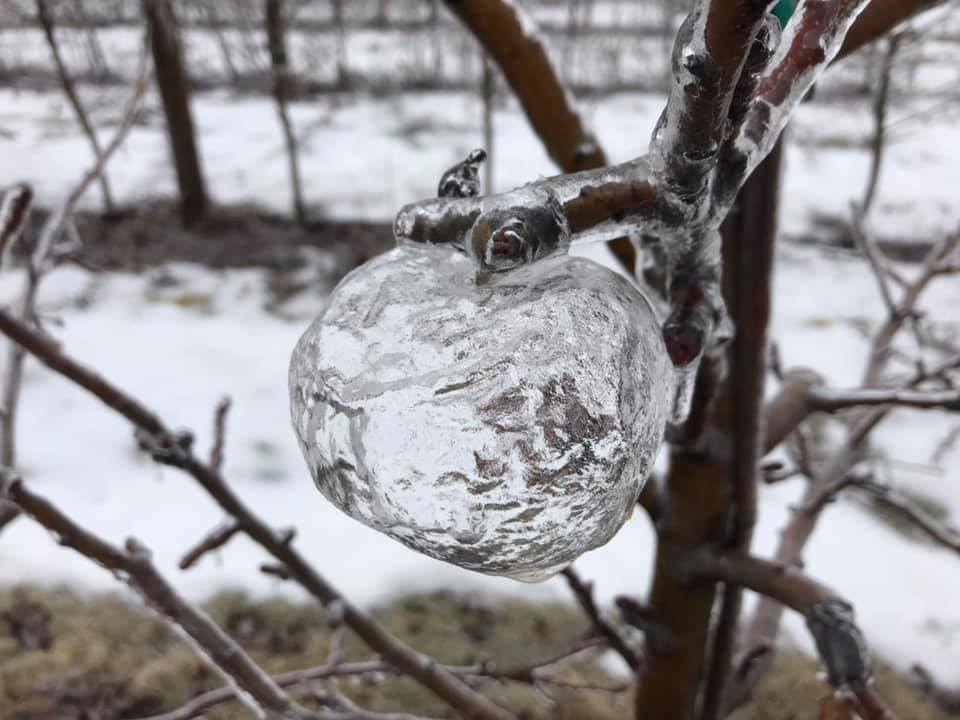 Ghost apples' spotted hanging from icy trees in Michigan orchard