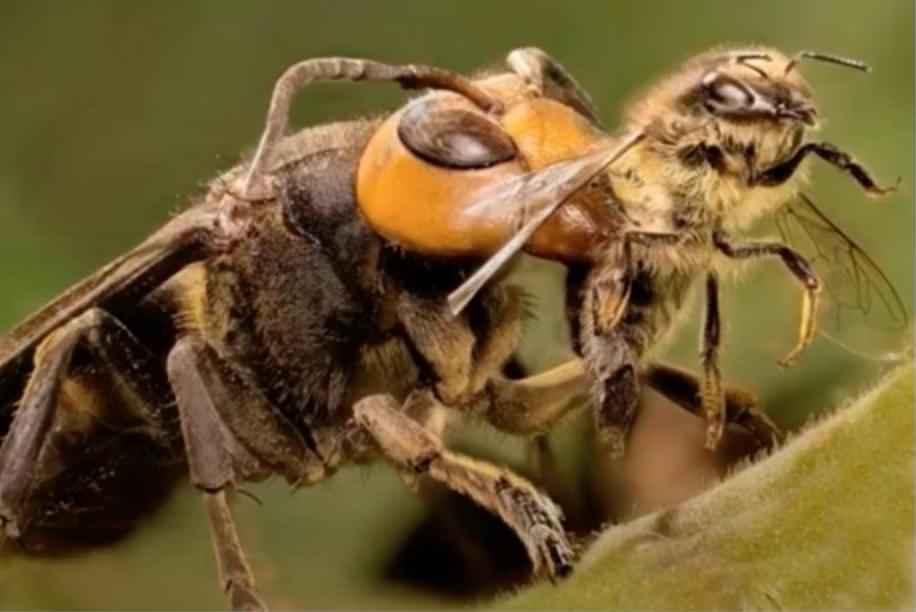 Terrifying 'murder hornets' invade US | AccuWeather