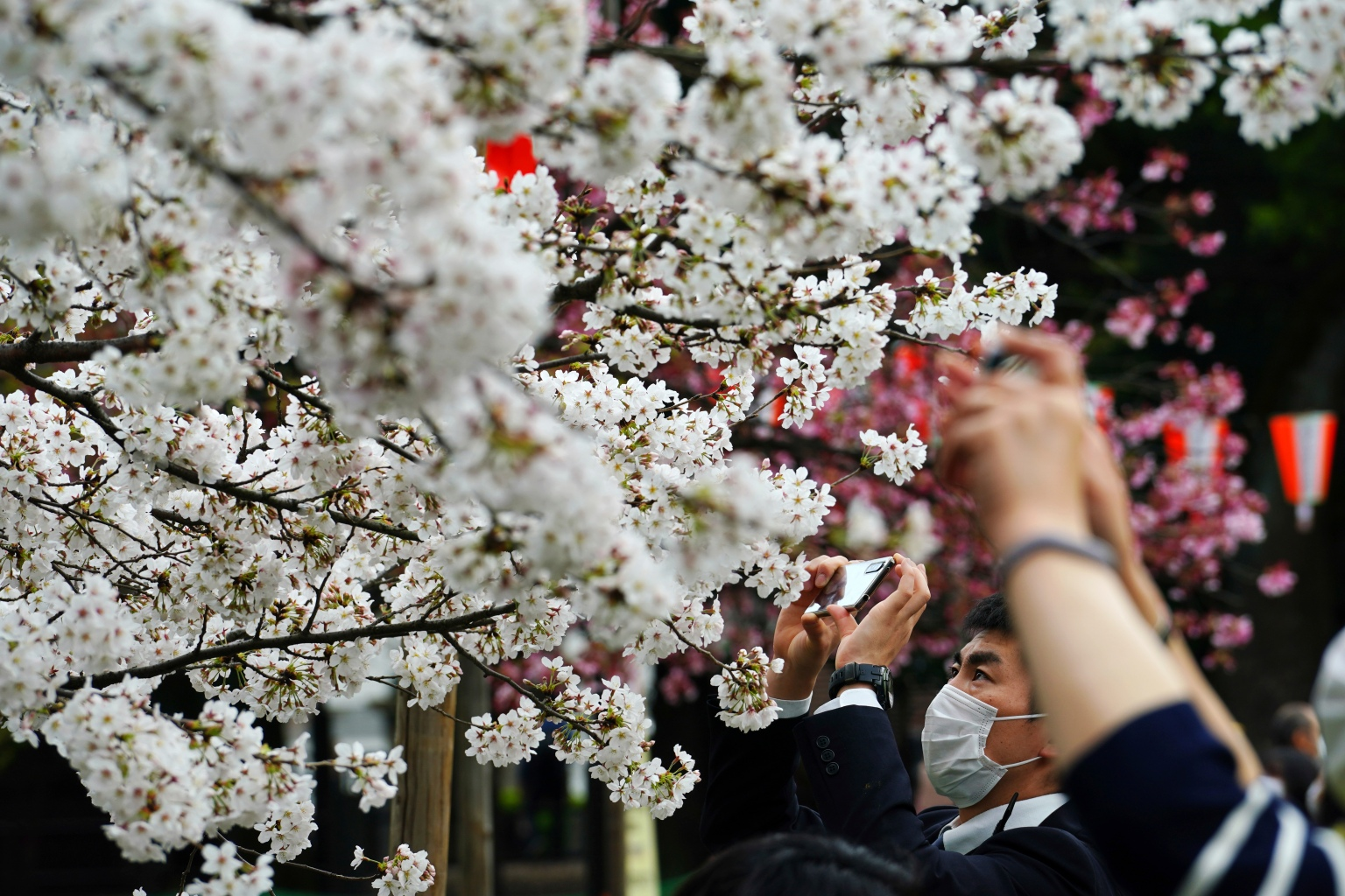 Cherry Blossoms And Love Septiplier 1 Spring Scenery Beautiful Nature Cherry Blossom