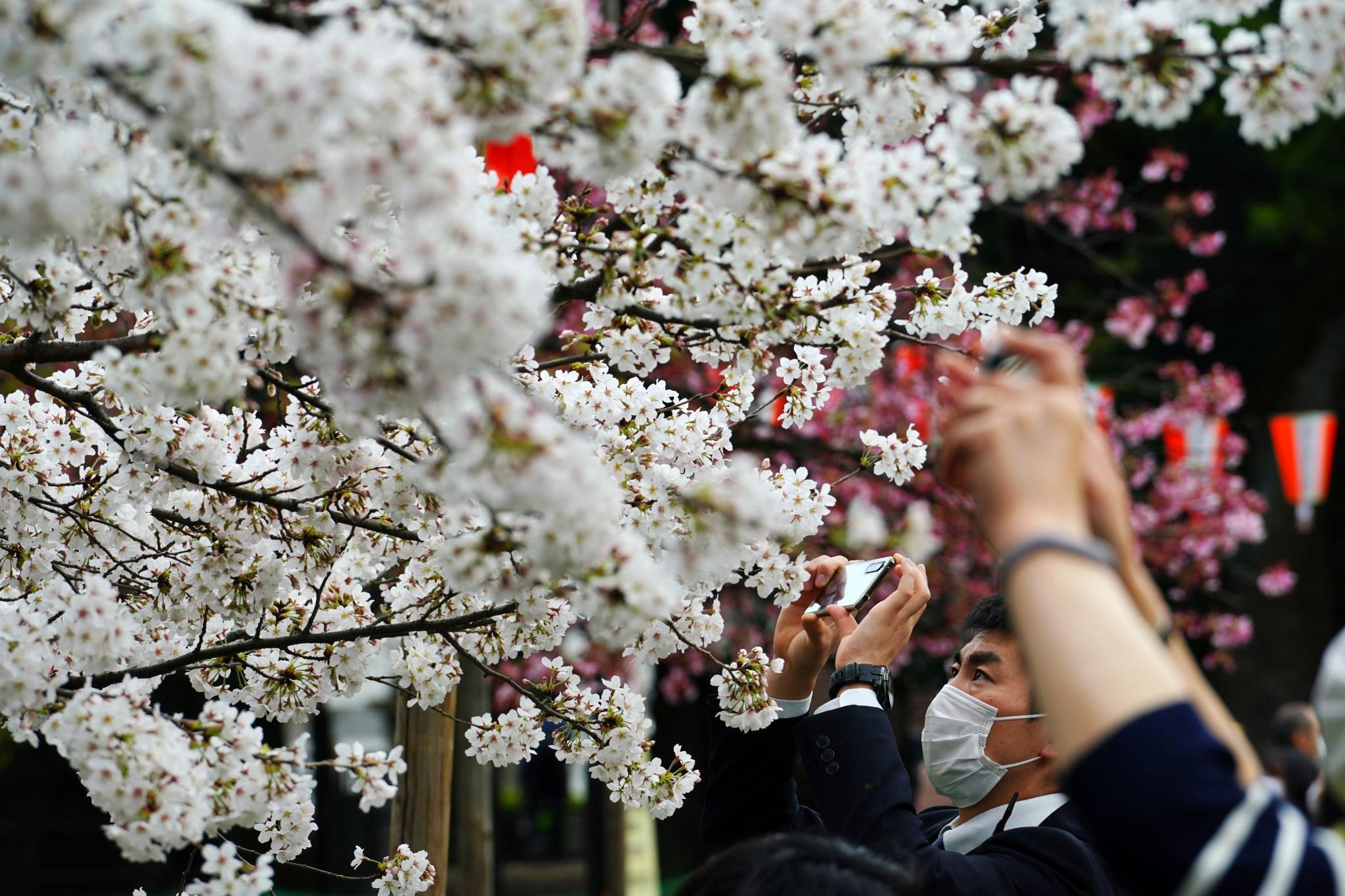 Japan Cherry Blossoms Reach Earliest Peak Bloom In 1 200 Years Accuweather